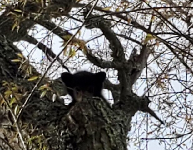 Bear cub left alone for days in tree now recuperating