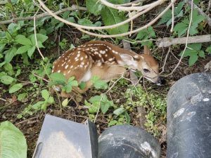 """An """"abandoned"""" fawn you might see is probably just fine"""