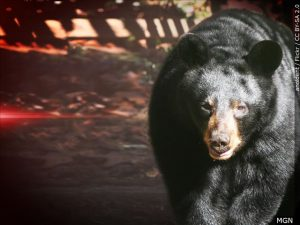 Bear necessity: Parkway campground temporarily closes to tents
