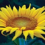 6th Annual Sunflower Festival returns this weekend